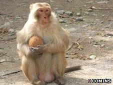 Pinocchio the coconut-cracking rhesus monkey