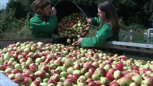 Will Faulds and Charlotte Traynor un loading apples they have picked from the orchard
