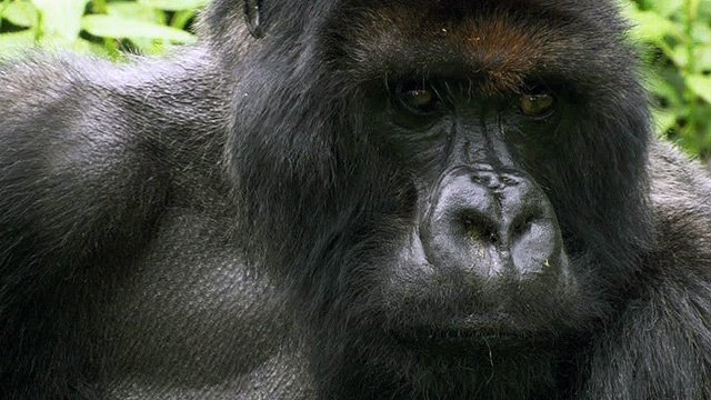 Titus, a mountain gorilla