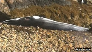 Minke whale found on beach near Pwllheli
