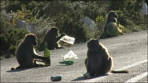 Baboons stealing food