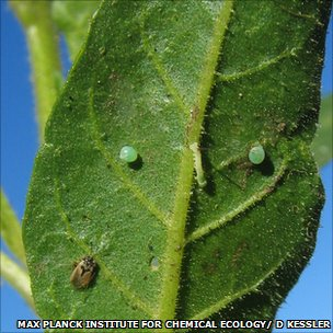 Tobacco plant with Geocoris insect, its tobacco hornworm caterpillar and two caterpillar eggs (Image: Max Planck Insitute for Chemical Ecology)