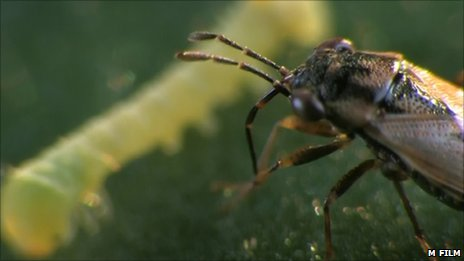 Geocoris insect attacks a caterpillar on a tobacco plant (Image: Matthey Film)