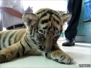 Tiger rescued from luggage at Bangkok's airport (Photo: Sulma Warne / TRAFFIC)