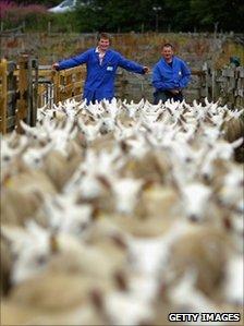 Men driving sheep