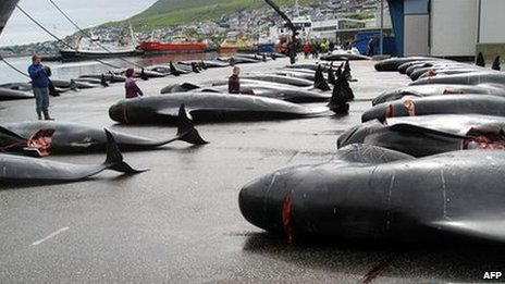Pilot whale hunt in the Faroe Islands