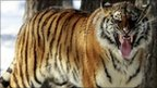 A Siberian tiger in a Chinese tiger park in Jilin province (file picture)