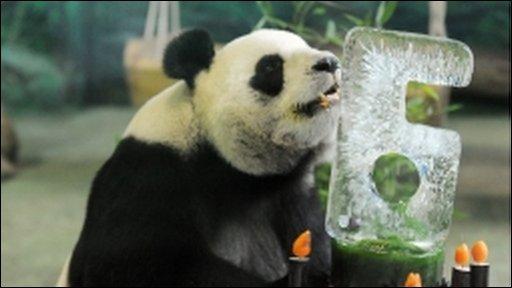 Panda in taipei
