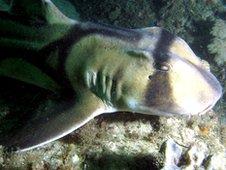 Australian Port Jackson shark