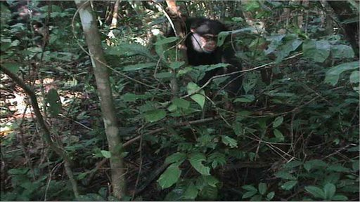 Chimp investigating snare