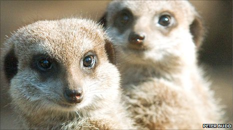 Meerkats at Bristol Zoo (Peter Budd)
