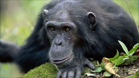 Common chimpanzee (Anup Shah / NaturePl.com)