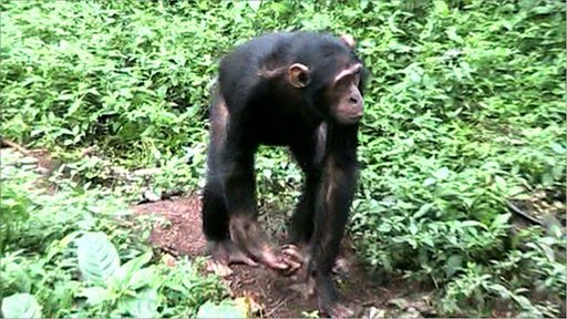 Chimp injured by snare (copyright Asha Tanna)
