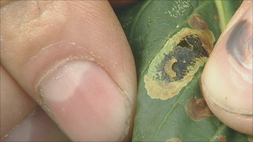 Moth grub on a horse chestnut tree leaf