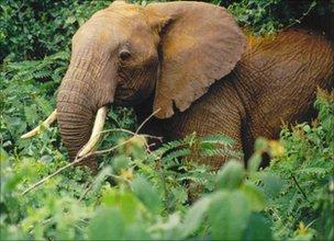 Elephant (Goheen)