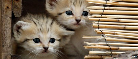 Two sand cat kittens