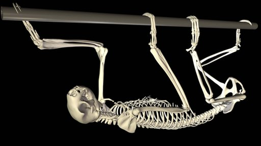 Animation of moving sloth skeleton (JA Nyakatura et al)
