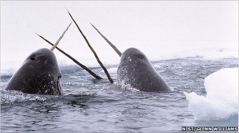 Narwhals breach (NIST/Glenn Williams)