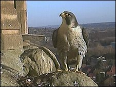 Derby Cathedral peregrine