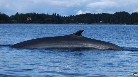 A fin whale swims in Sitka Sound Thursday, September. 16, 2004 in Sitka, Alaska