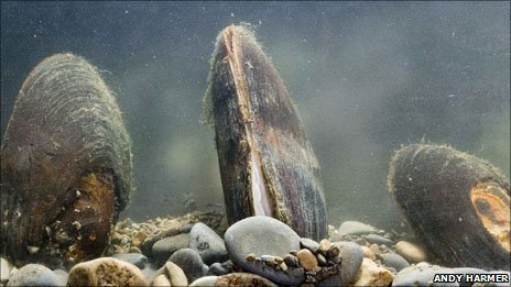 Freshwater pearl mussels (Pic: Andy Harmer)