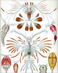 Copepods drawn in 1904 by natural historian Ernst Haeckel