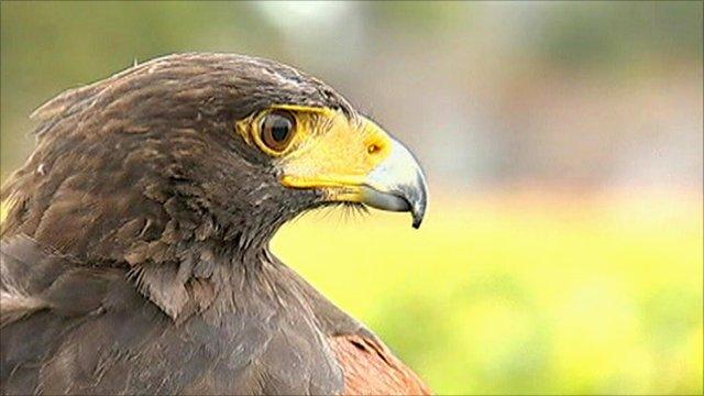 Harris falcon in Champagne vineyard