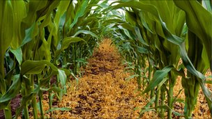 Genetically modified maize. Picture from Science Photo Library.