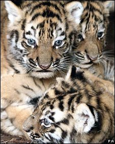 Tiger cubs
