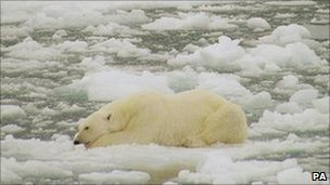 Polar Bear in the Arctic Barents Sea region