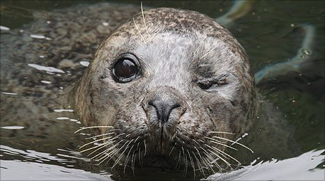 Thirty-two year-old common seal 'Babyface '