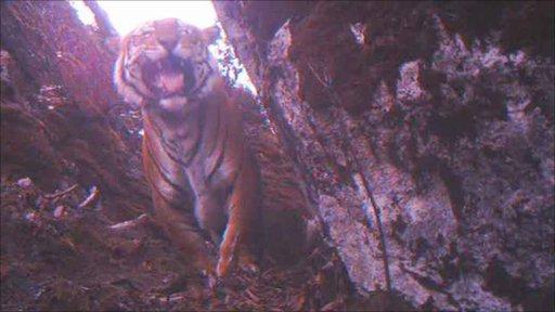 Male tiger filmed at altitude in Bhutan