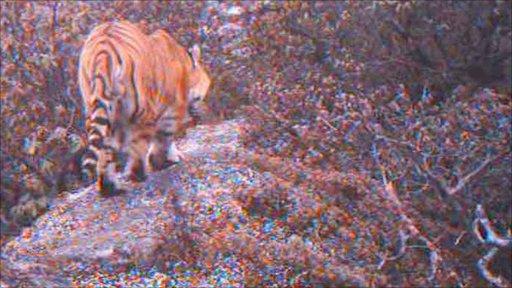 Tiger in highlands of Bhutan