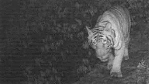 Tiger filmed at night