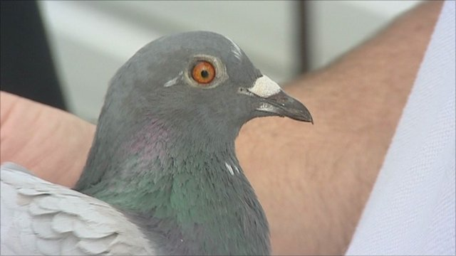 bbc news flying pigeon beats broadband to deliver movie file