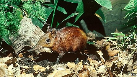 Sengi