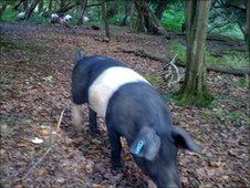 New Forest pig eating acorns