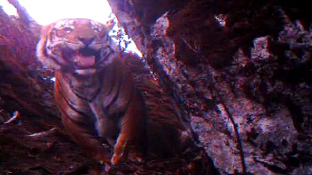 Tiger in Himalayas