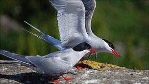 A pair of Arctic terns (Image: BBC)