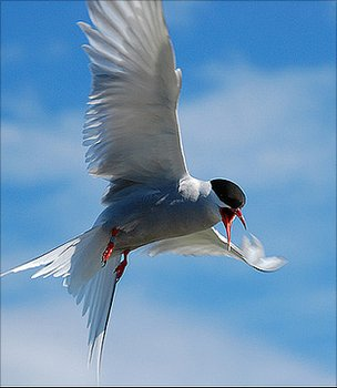 Library photo of an Arctic tern (Image: BBC)