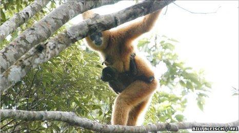 Hainan gibbon (Bill Bleisch / FFI)