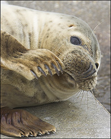 Grey seal (RSPCA)