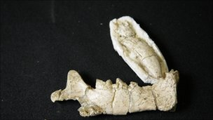 Bone from a sabre-toothed tiger ancestor