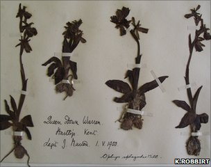 Sheet of an early spider orchid specimen held at Kew&#039;s herbarium (Image: K.Robbirt)