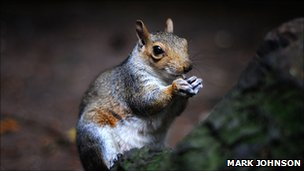 Squirrel with nut (photo by Mark Johnson on BBC Autumnwatch&#039;s Flickr group)
