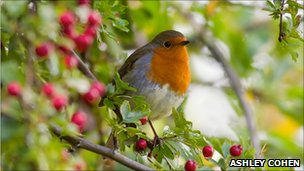 Robin and berries (photo by Ashley Cohen on BBC Autumnwatch's Flickr group)