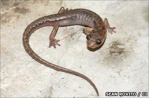 Cave splayfoot salamander