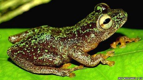 Omaniundu reed frog