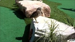 Burrowing owl on the Oasis of the Seas
