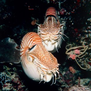 Nautiluses on reef
